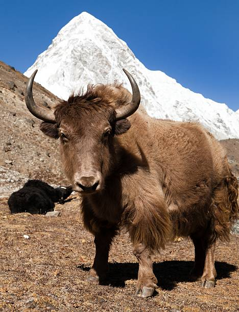 Yak and mount Pumo ri - Nepal