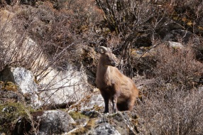 Himalayan mountain goat... genus unknown.